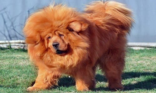 mastin-tibetano-perro