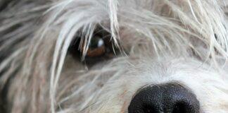ojo-de-perro-con-conjuntivitis