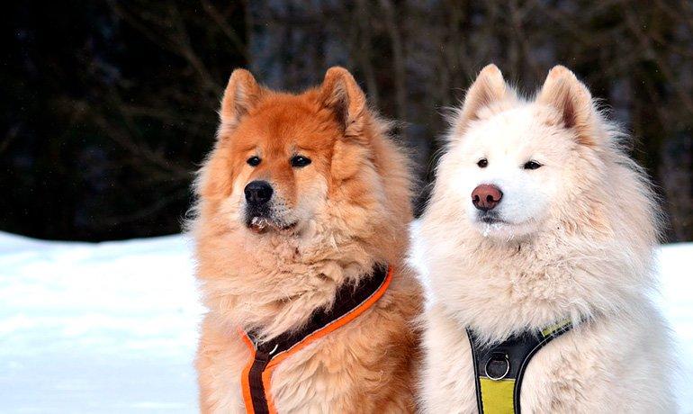pareja-de-Samoyedos-en-la-nieve
