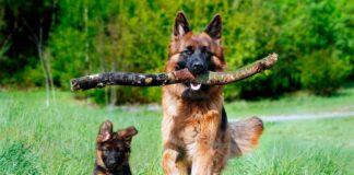 pastor-alemán-corriendo-junto-a-cachorro