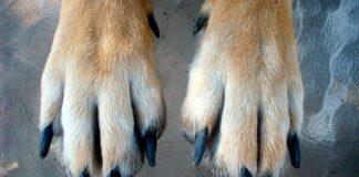 patas-delanteras-de-un-perro-y-sus-uñas