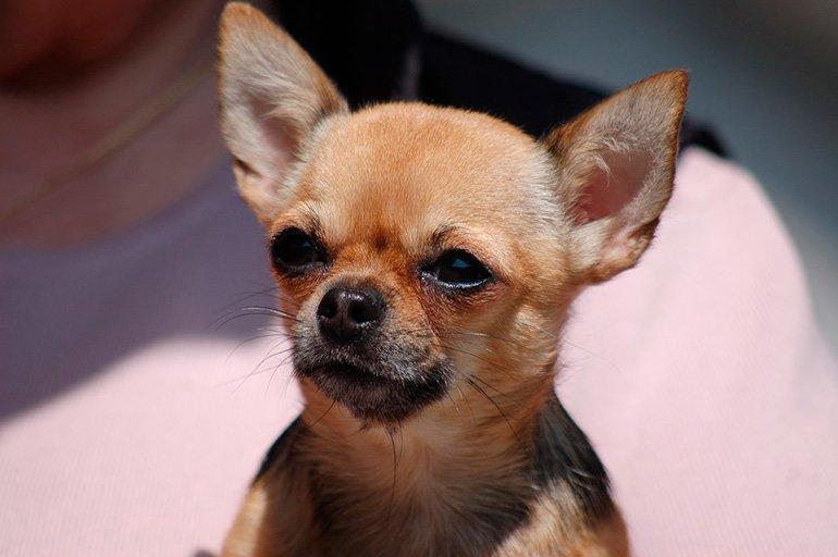 pequeño-chihuahua