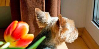 perro-asomado-por-la-ventana-esperando-a-su-dueño