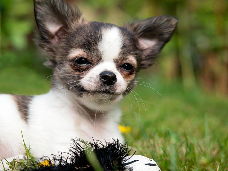 perro-con-Hidrocefalia