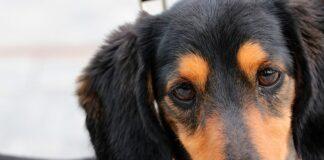 perro-con-dolor-en-el-oido