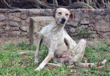 perro-con-pulgas-rascandose-por-picor