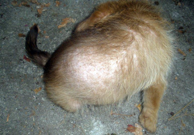 perro-con-sarna-demodecica