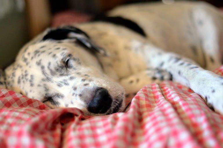 perro-con-tratamiento-para-el-moquillo-descansando