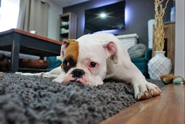 perro-en-casa-resignado