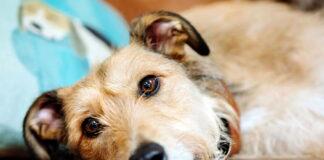 perro-enfermo-de-parvovirus