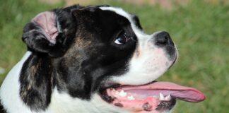 perro-jadeando-mucho