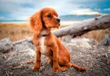 perro-joven-con-debilidad-en-las-patas-traseras