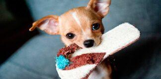 perro mordiendo zapatilla