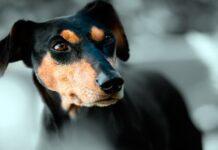 perro prediciendo muerte