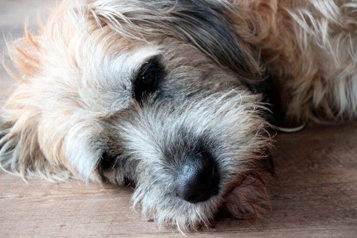 perro-que-padece-dolor