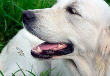 perro-retriever-blanco