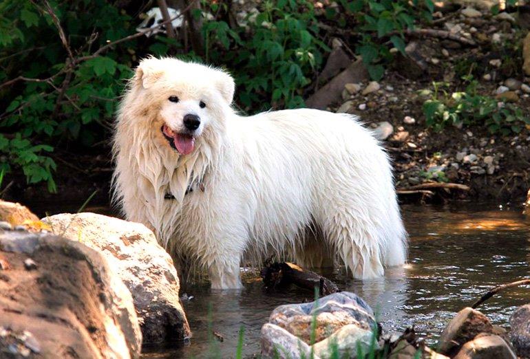 perro-samoyedo-bañandose