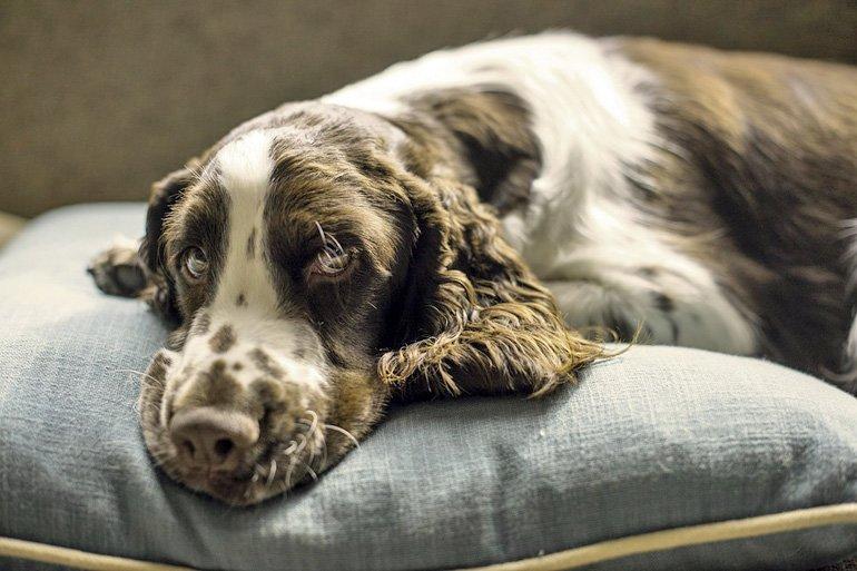 perro-sobre-cama-cojín