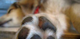 perro-tumbado-en-casa
