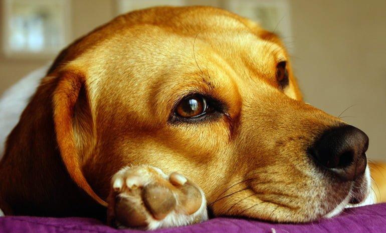 perro-tumbado-sobre-sus-patas-delanteras