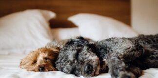 perros-durmiendo-sobre-una-cama
