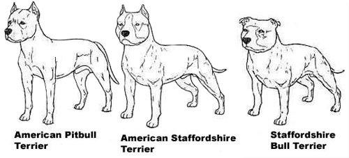 diferencias entre tipos de pitbull