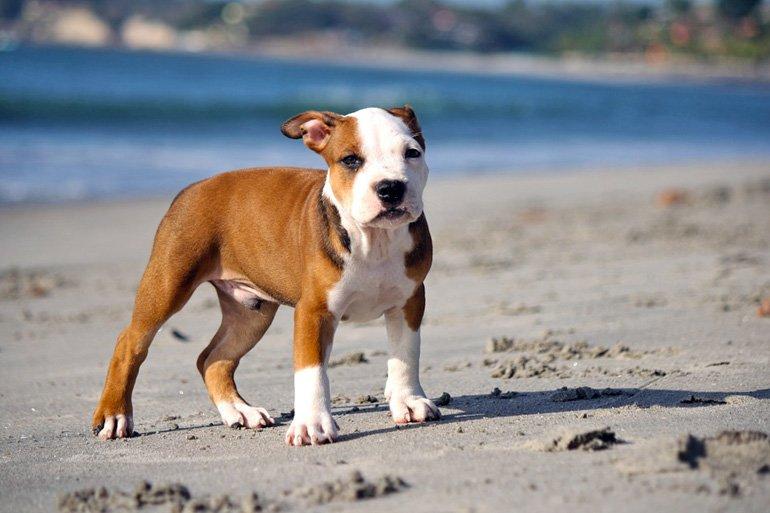 Cómo Cuidar Un Cachorro Pitbull En 4 Pasos