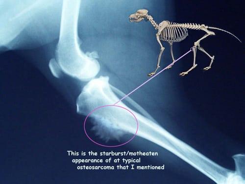 radiografía de perro con tumor