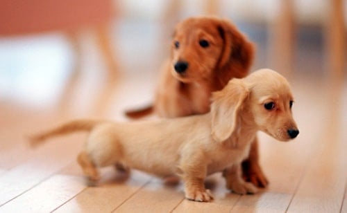 dos cachorros de perro de raza pequeña