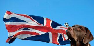 bandera-inglesa-con-labrador-retriever