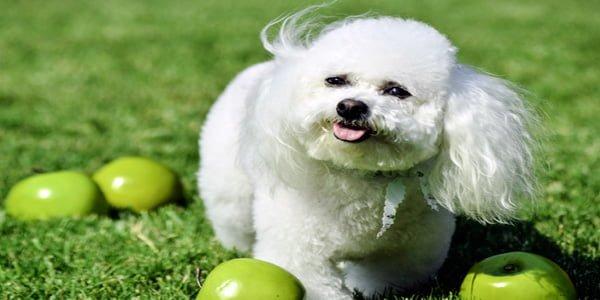 perro bichón frisé blanco