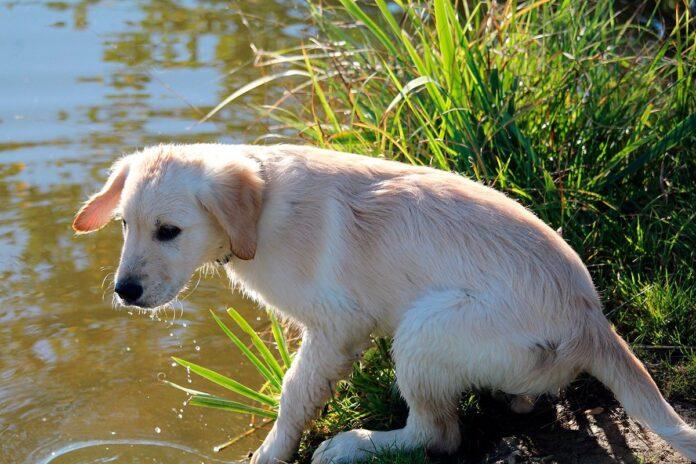 Giardiose chez les chiens