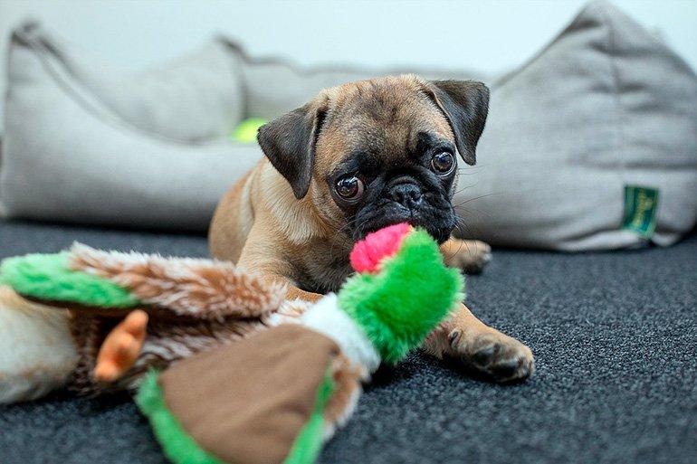 cachorro-de-pug-jugando