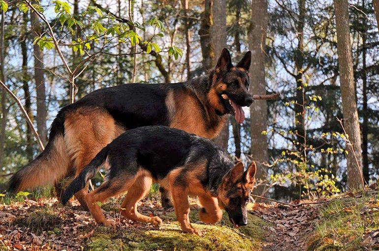 pastor-aleman-con-su-cachorro
