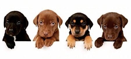 Qu'est-ce que le certificat Pedigree chez les chiens?