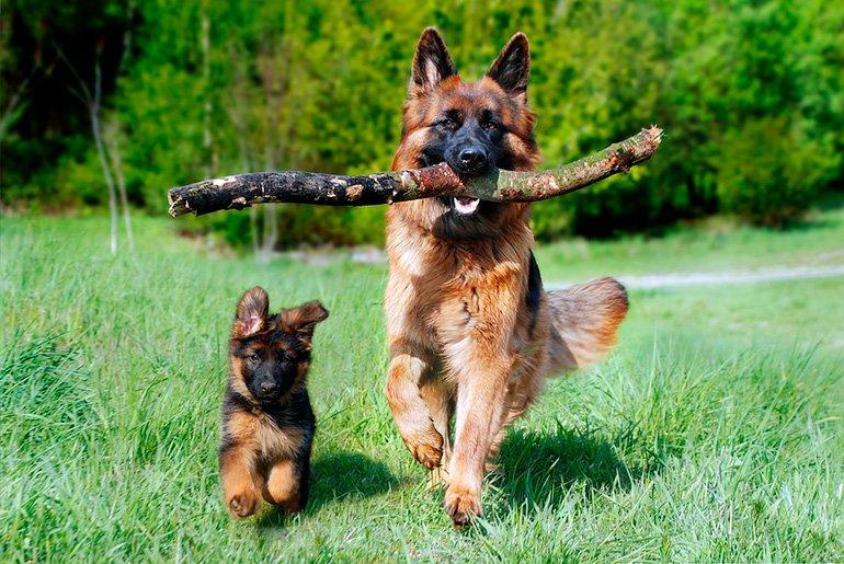 perro-adulto-con-perro-cachorro
