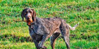 perro-con-la-pata-delantera-levantada