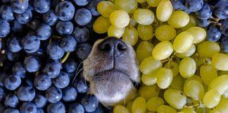 perro-con-uvas