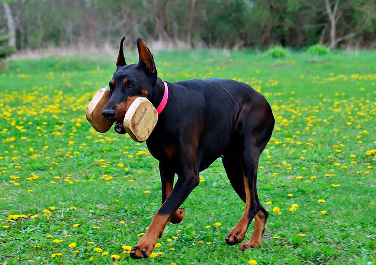 perro-dóberman-jugando