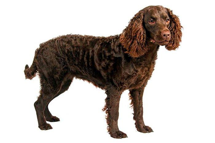 perro-de-agua-americano