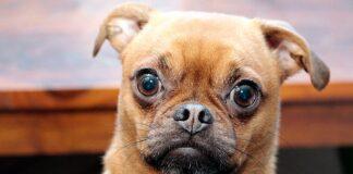 perro-de-ojos-saltones
