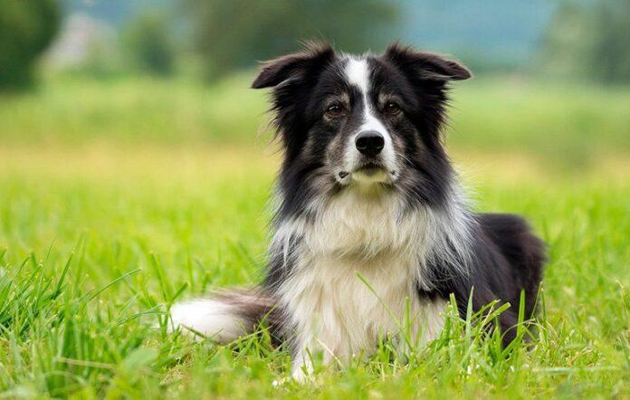 perro-de-pastoreo