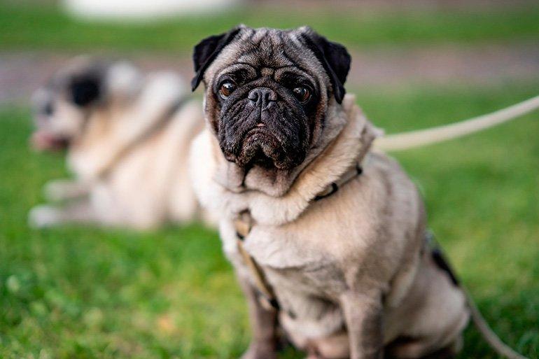 perro-de-raza-pug