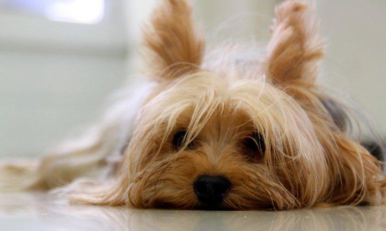 perro-en-reposo