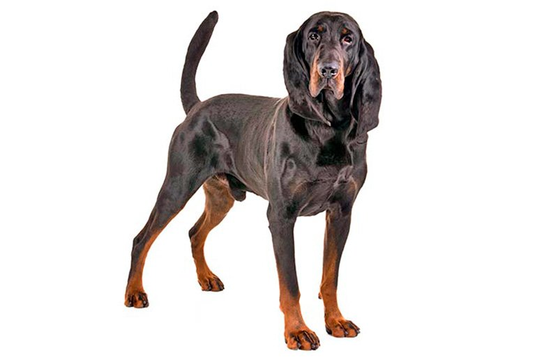 perro-sabueso-negro