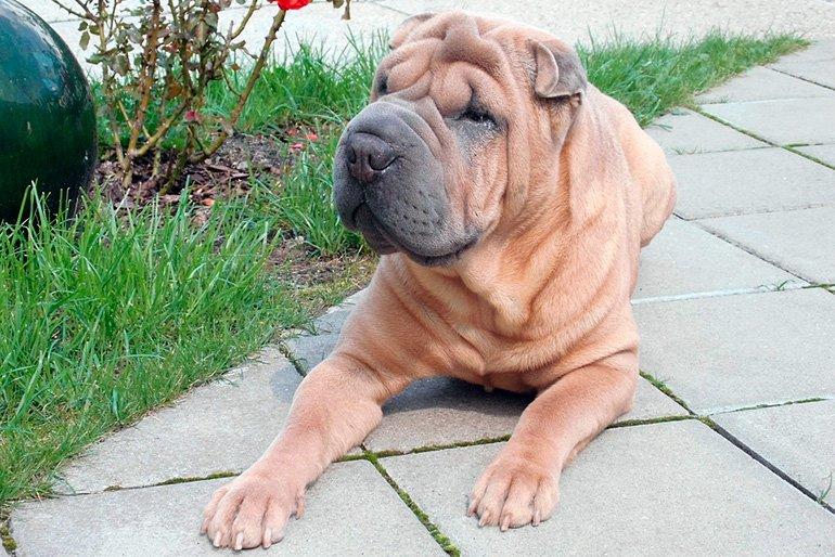 perro-shar-pei-descansando