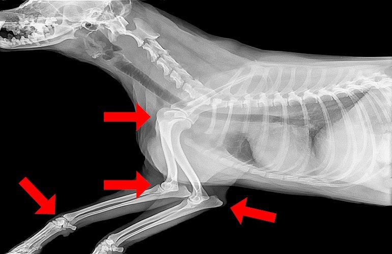 radiografia-de-articulaciones-perro