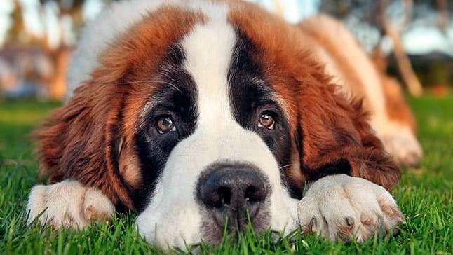 cachorro de perro San bernardo