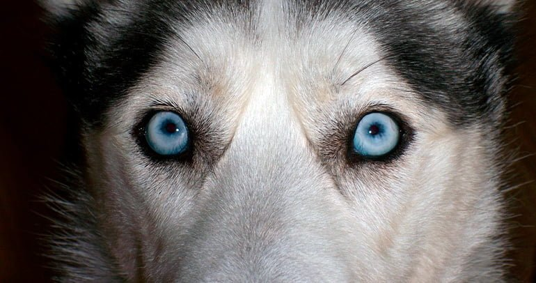 ojos-del-husky-siberiano