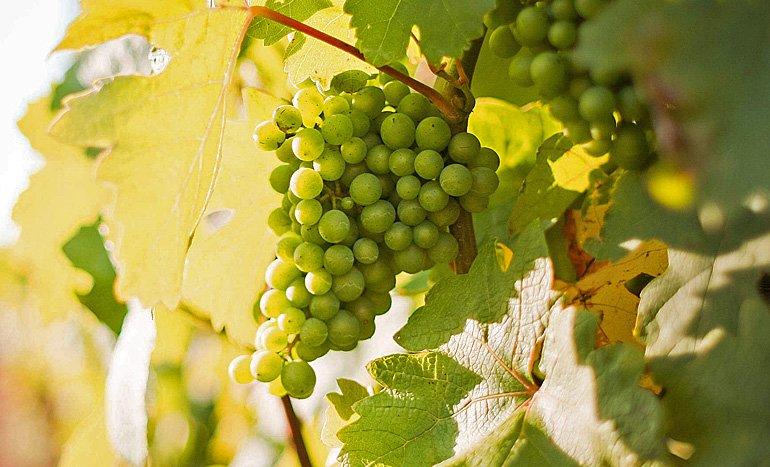 uvas-en-viñedo